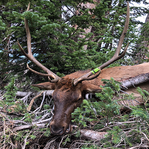 Oklahoma Hunter Climbs Heights In Colorado With Buck Baits For 4 x 4 Bull Elk