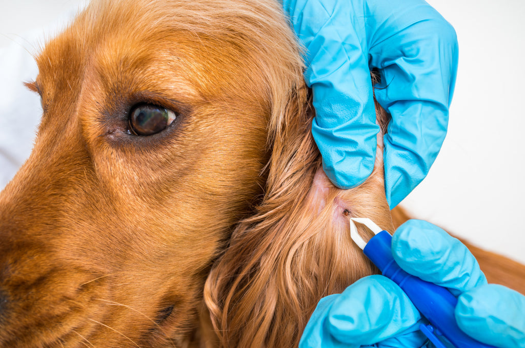 Everything You Need to Know About Lyme Disease in Dogs