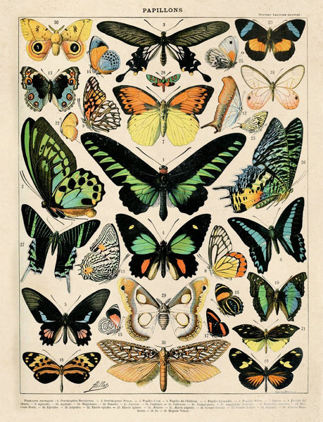 Curious Prints - Vintage Natural History French Butterfly 1 Print - 11x14