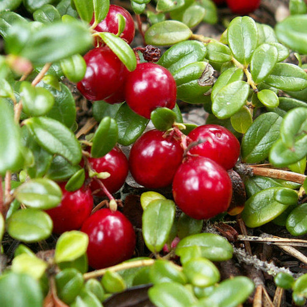 Arctostaphylos Uva Ursi Leaf Extract (Bearberry Extract)