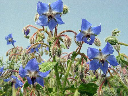 Borago Officinalis (Borage Oil)