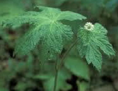 Hydrastis Canadensis (Goldenseal) Root Extract