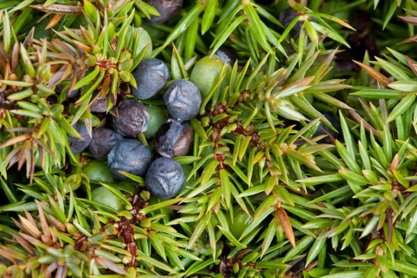 Juniperus Communis (Juniper Extract)