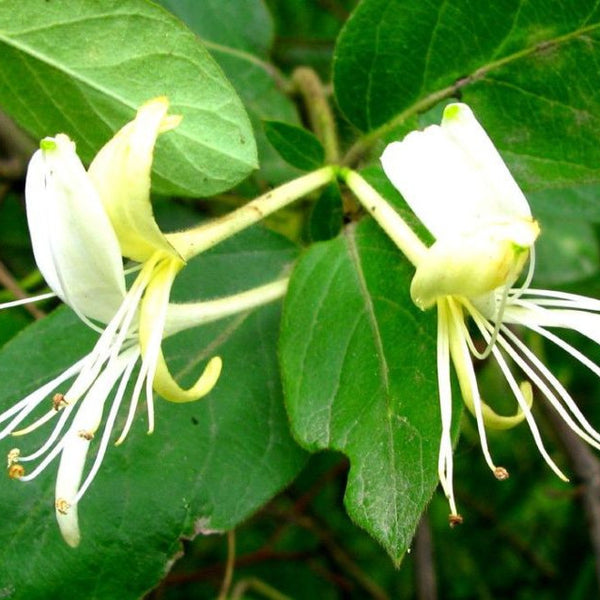 Lonicera Japonica Flower Extract