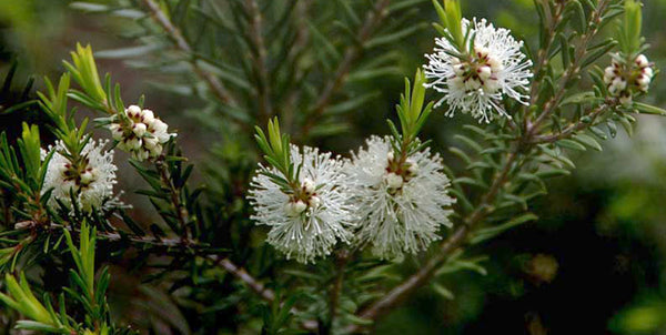 Melaleuca Alternifolia (Tea Tree) Oil
