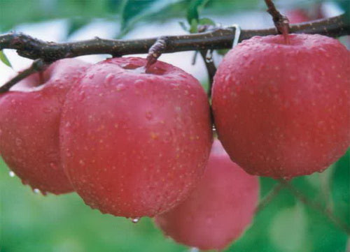 Pyrus Malus Fruit (Apple)Extract