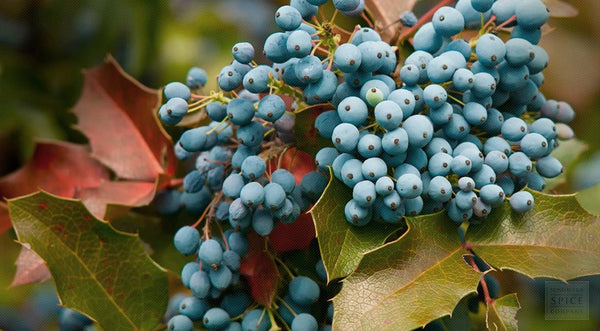 Wildcrafted Mahonia Aquifolia (Oregon Grape)