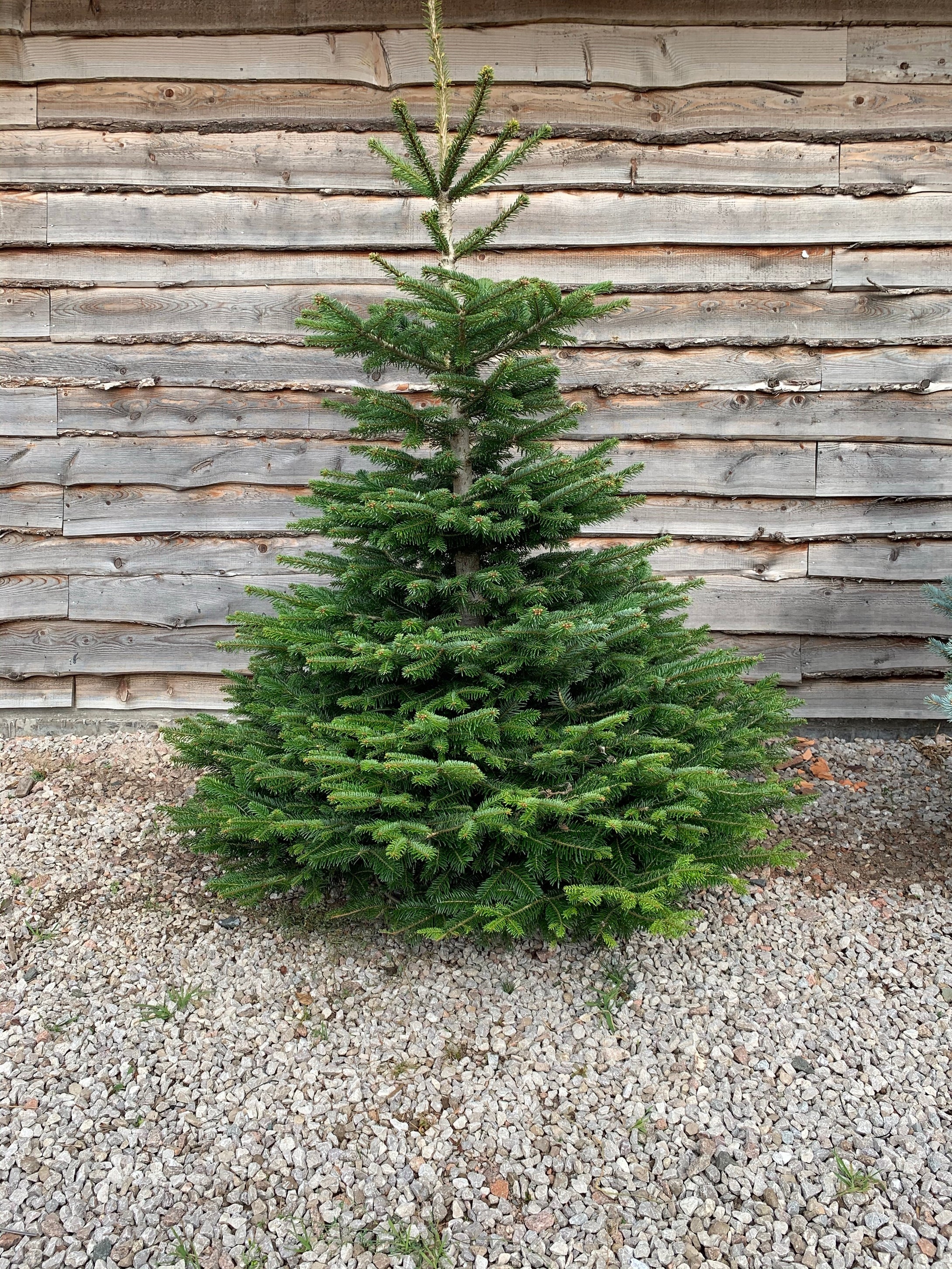 Nordman fir, home grown here on our farm