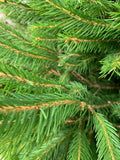 Norway Spruce, home grown here on the farm.
