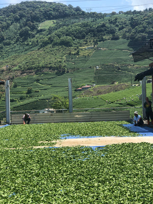 Spring Pear Mountain Oolong (Picked May 26th, 2019)