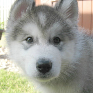 Top 5 Things To Do Before Owning An Alaskan Malamute