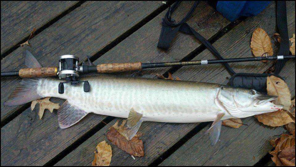 TACKLE INDUSTRIES- ROD AND MUSKY FISH PICTURE