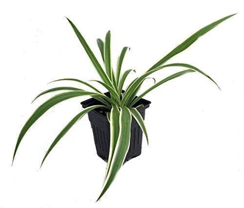 "Variegated Spider Plant - Easy to Grow - Cleans the Air - 4"" Pot Plant Hirt's Gardens"