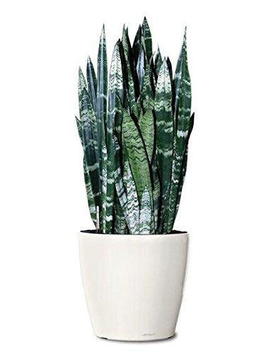 "Snake Plant Black Coral, 6"" Plant Garden Goods Direct"