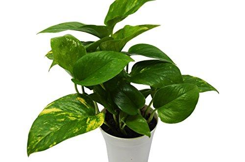 "Golden Devil's Ivy - Pothos - Live Plant - FREE Care Guide - 4"" Pot Plant House Plant Shop"