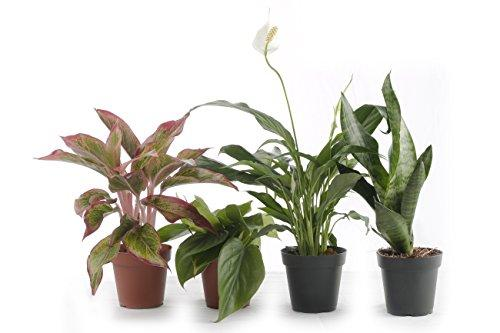 Set of 4 Indoor Plants - Live Potted Plants for Your Home or Office - Includes Red Aglaonema, Snake Plant, Philodendron, and Peace Lily - Great for Interior Decorating and Cleaning the Air