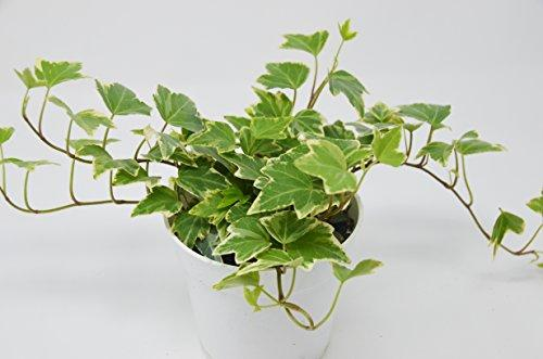 "English Ivy 'Eva' - Live House Plant - FREE Care Guide - 4"" Pot Plant House Plant Shop"