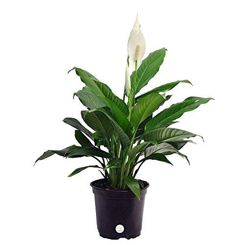 Peace Lily Spathiphyllum, Live Indoor Plant in 6-inch Grower's Pot