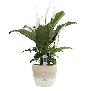 Flowering Peace Lily in Scheurich Premium Décor-Ready Ceramic Planter