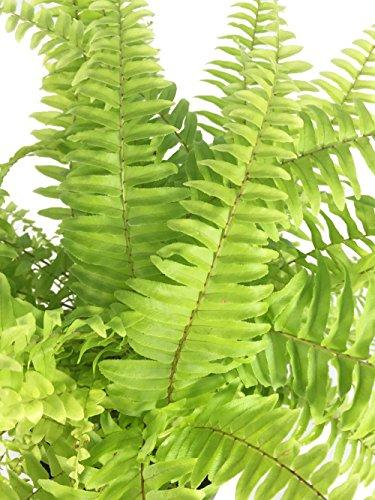 Rita's Gold Boston Fern - Nephrolepis - 4
