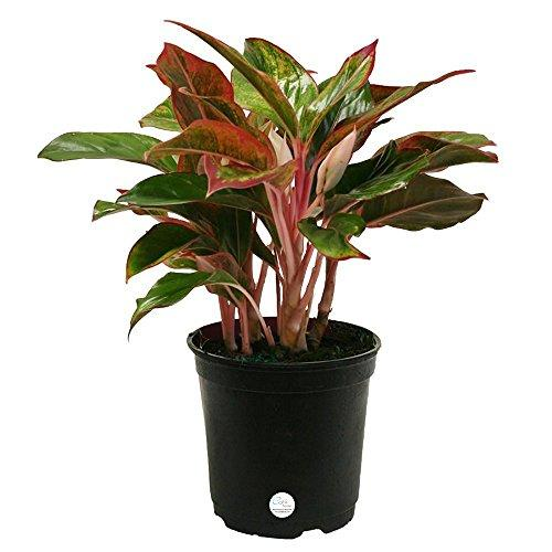 Siam Aglaonema Chinese Evergreen Live Indoor Tabletop Plant in 6-Inch Grower Pot Plant Costa Farms