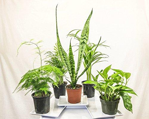 Collection of Five Fantastic Clean Air Plants for Your Home or Office - Beautiful - Florist Quality - Golden Pothos - Parlor Palm - Areca Palm - Asparagus Plumosus - Snake Plant