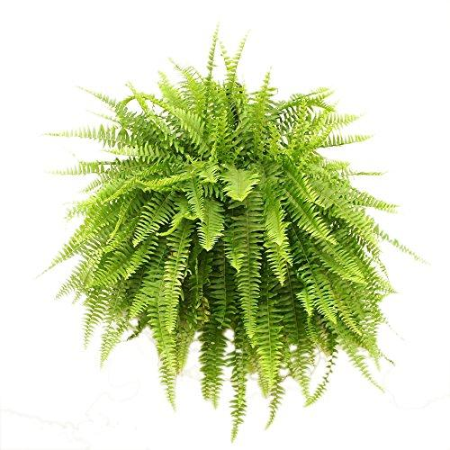 Costa Farms Boston Fern Live Indoor Plant in 10-Inch Hanging Basket
