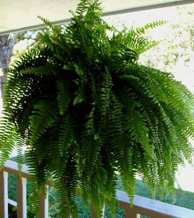 "Fern 8"" Hanging Basket Plant Happy Plants"