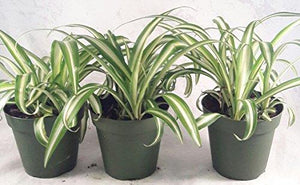 Ocean Spider Plant - 4'' Pot 3 Pack for Better Growth Plant JM BAMBOO