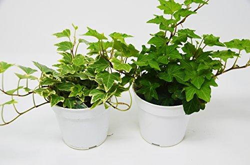 2 Different English Ivy plants- Live House Plant - FREE Care Guide