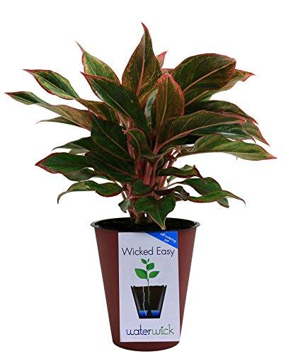 Siam Colorful Aglaonema (Chinese Evergreen) Plant Costa Farms