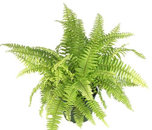"Rita's Gold Boston Fern - Nephrolepis - 4"" Pot Plant Hirt's Gardens"
