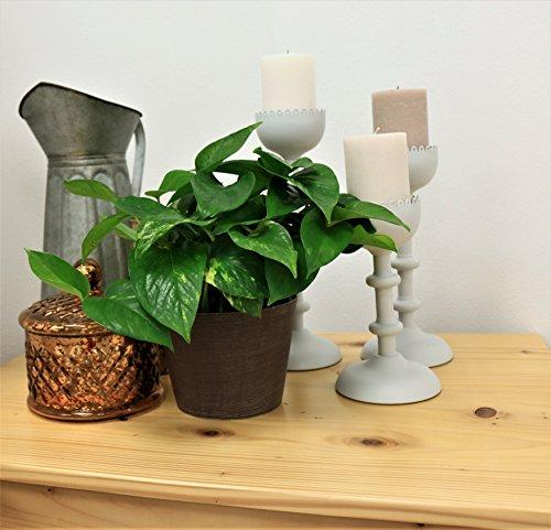 Golden Pothos Ivy Live Indoor Tabletop Plant in 6-Inch Grower Pot Plant Costa Farms