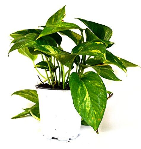 "Golden Devil's Ivy - Pothos - Epipremnum - 4"" Pot - Very Easy to Grow Plant 9GreenBox.com"