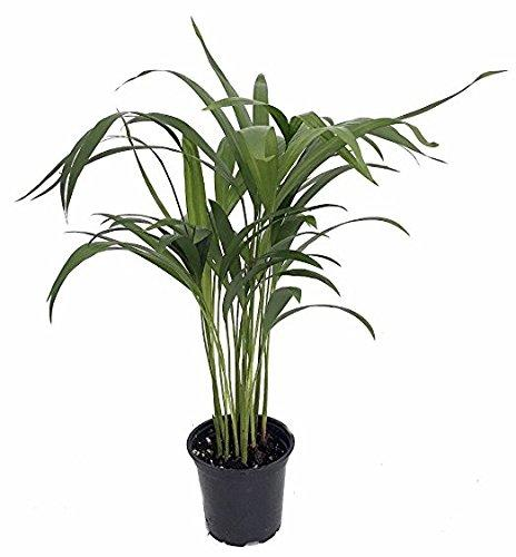 Collection of Five Fantastic Clean Air Plants for Your Home or Office - Beautiful - Florist Quality - Golden Pothos - Parlor Palm - Areca Palm - Asparagus Plumosus - Snake Plant Plant Florida Foliage