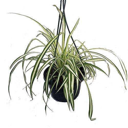 Ocean Spider Plant - Easy to Grow - Cleans the Air - NEW - 6
