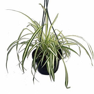 "Ocean Spider Plant - Easy to Grow - Cleans the Air - NEW - 6"" Hanging Basket"