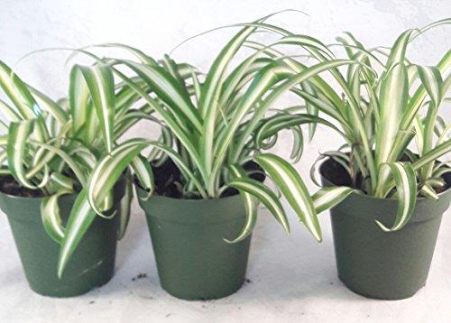 Ocean Spider Plant - 4'' Pot 3 Pack for Better Growth