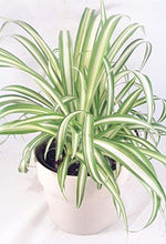 "Ocean Spider Plant - Easy to Grow - Cleans the Air - 4"" ceramic white pot Pot Plant JM BAMBOO"