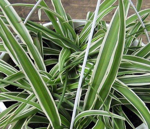 Variegated Spider Plant - Easy to Grow - Cleans the Air - 4