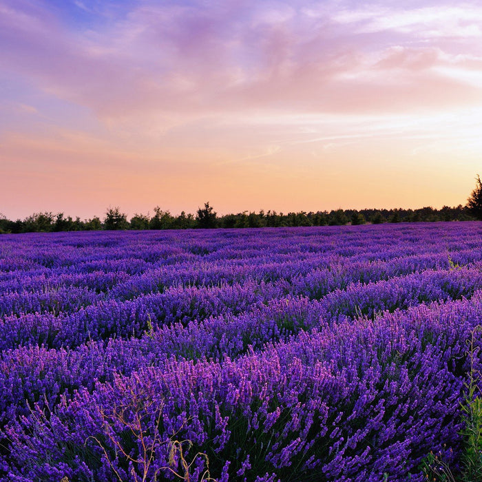 Lavender Field At Sunset I