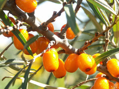 seabuckthorn oil helps dogs skin
