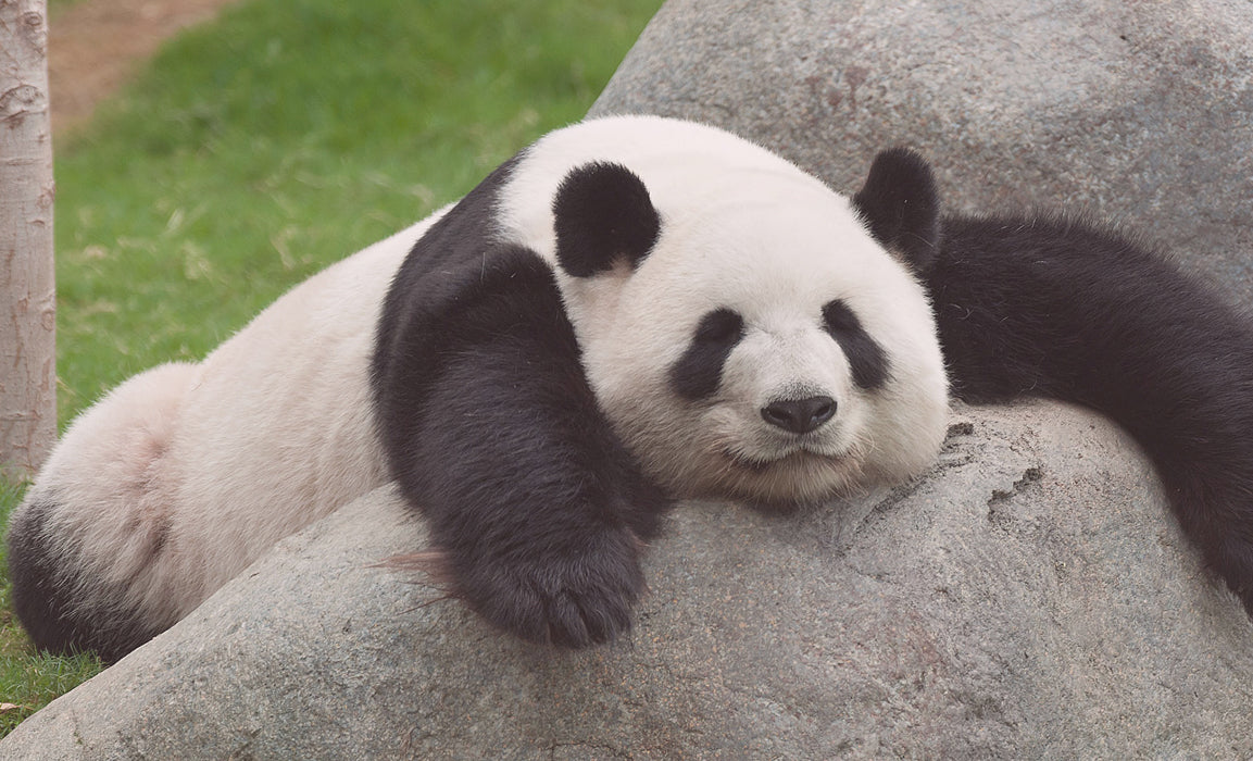 10 Ultra-Cute Panda Facts (and why we love them!)
