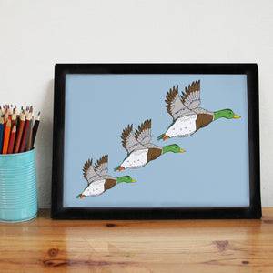 Blue Flying Mallard Ducks Art Print