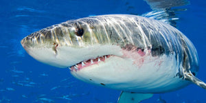 Do great white sharks sleep at all?