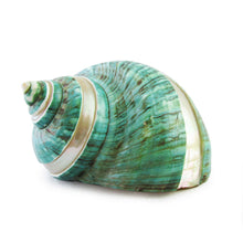 Green Turbo Sea Snail Shell