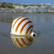 Stripped Horn Seashells | Little Miss Meteo