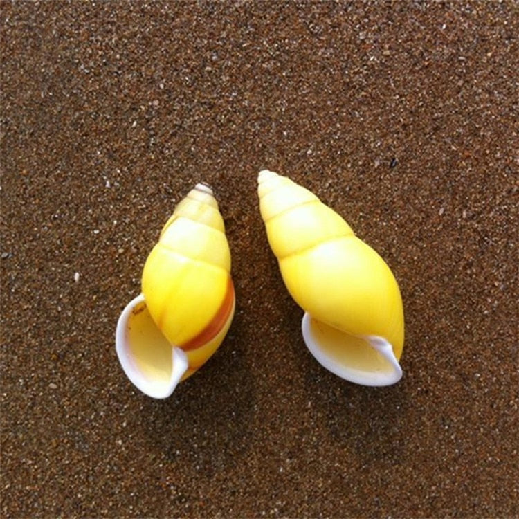 Yellow Sinistral Conch Shell Amphidromus Heernianus Coral | Little Miss Meteo