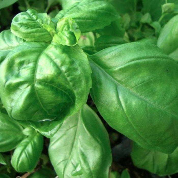 Basil - Lettuce Leaf, 30-50 seeds per packet