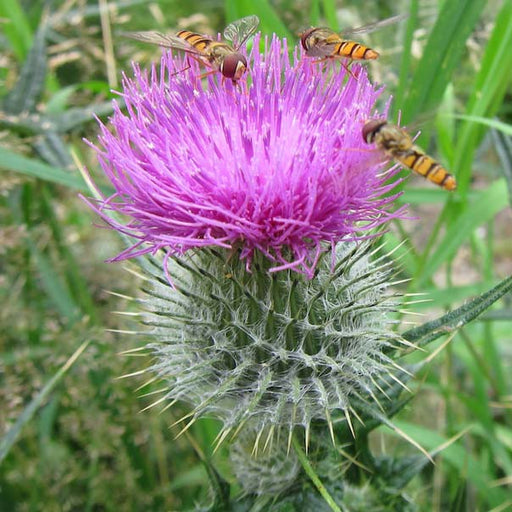 Blessed Thistle, 10-25 seeds per packet